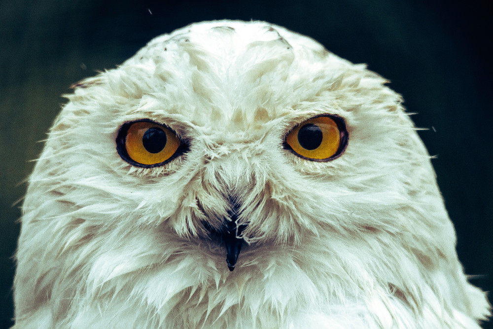 harry-potter-schneeeule-hedwig